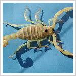 DIY Scorpion Treatment