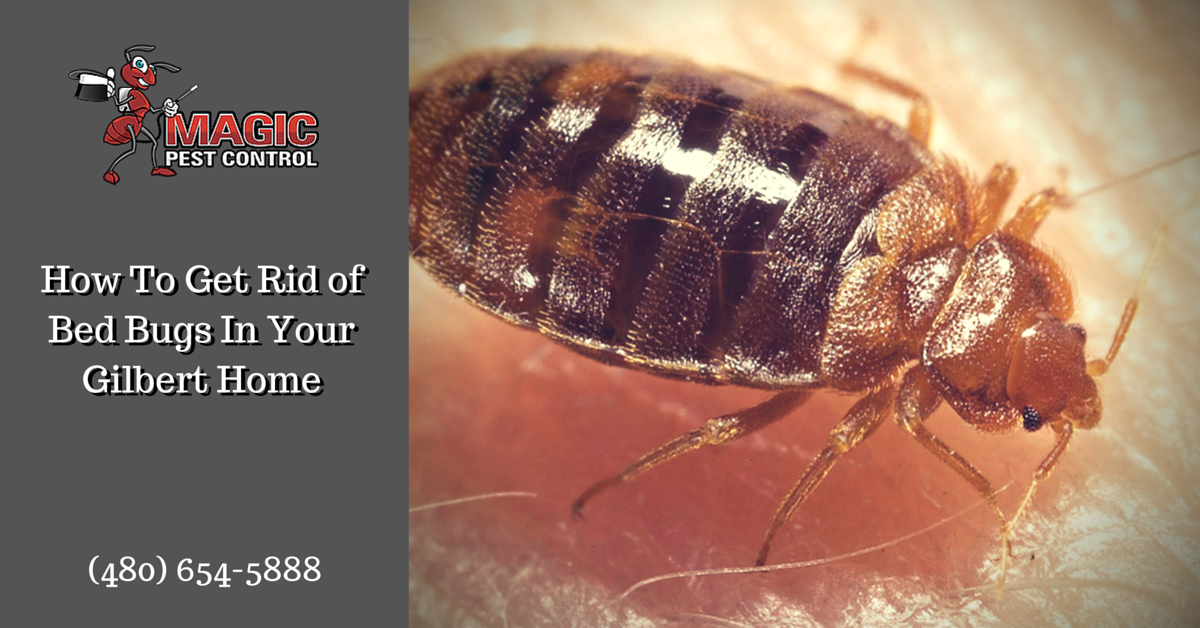 How To Get Rid Of Bed Bugs In Your Gilbert Home Magic