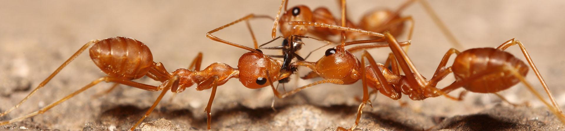 Ant Control Gilbert / Phoenix Metro