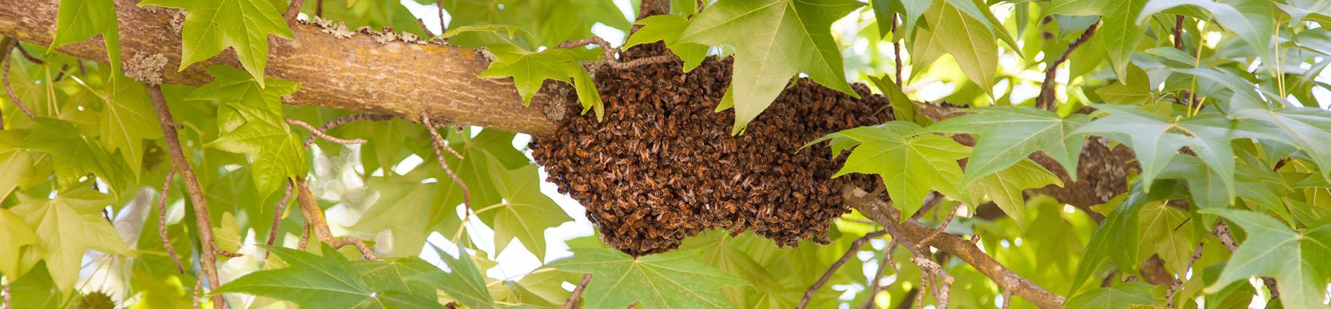 Bee Control Gilbert, Phoenix Metro