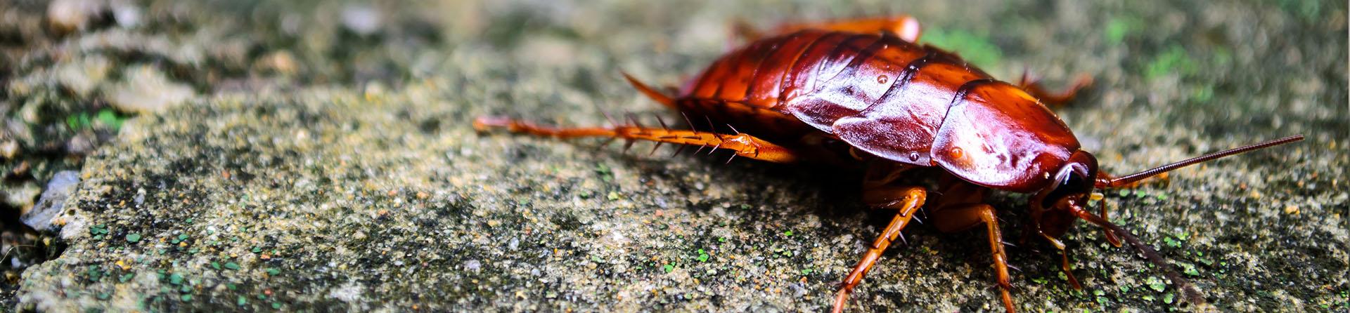 Cockroach Control Gilbert, Phoenix Metro