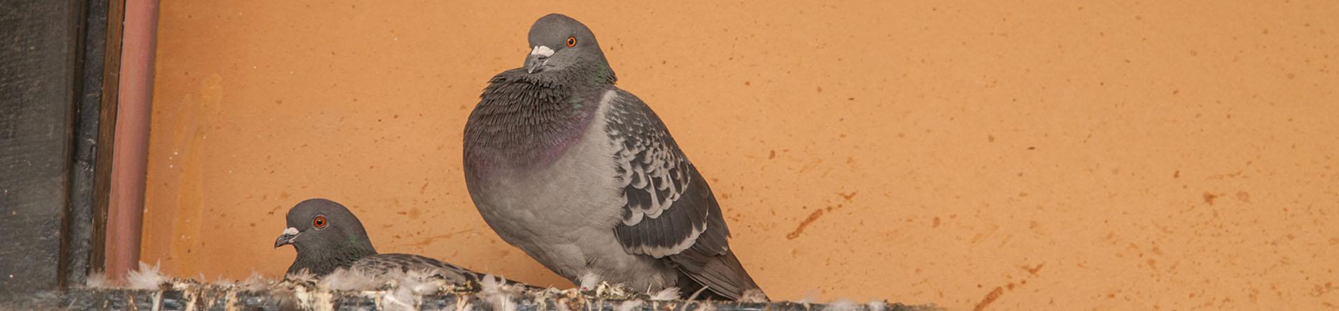 Bird Control Gilbert, Phoenix Metro