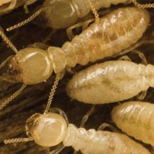western-subterranean-termite