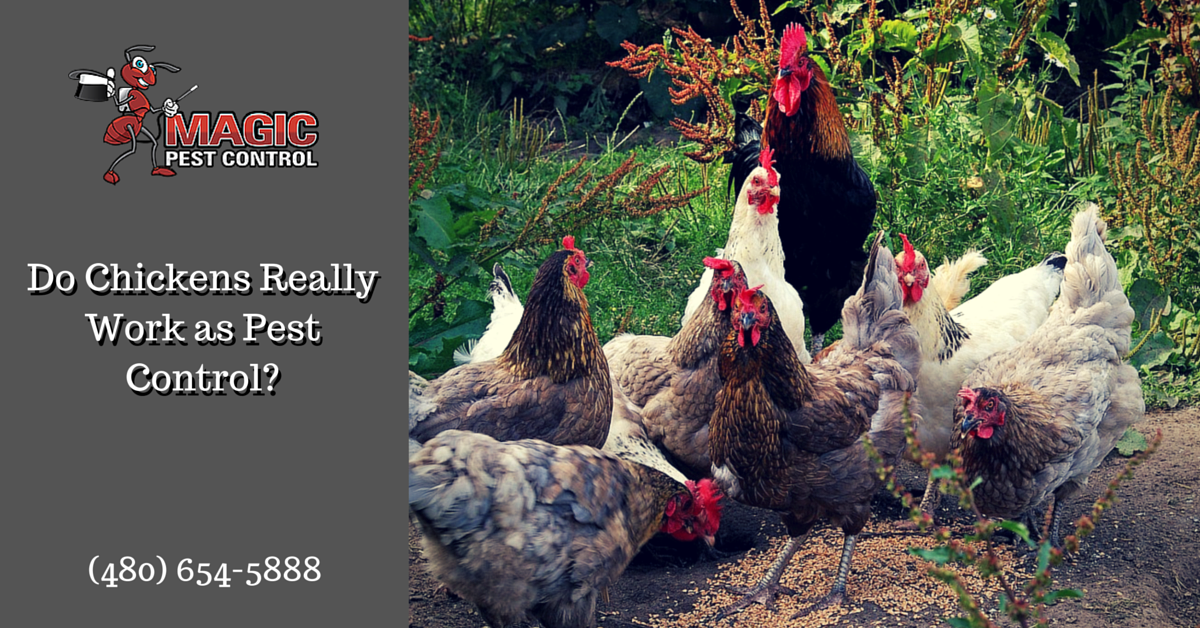 Do Chickens Really Work as Pest Control?