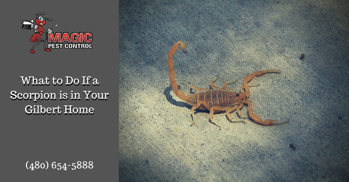 What to Do If a Scorpion is in Your Gilbert Home
