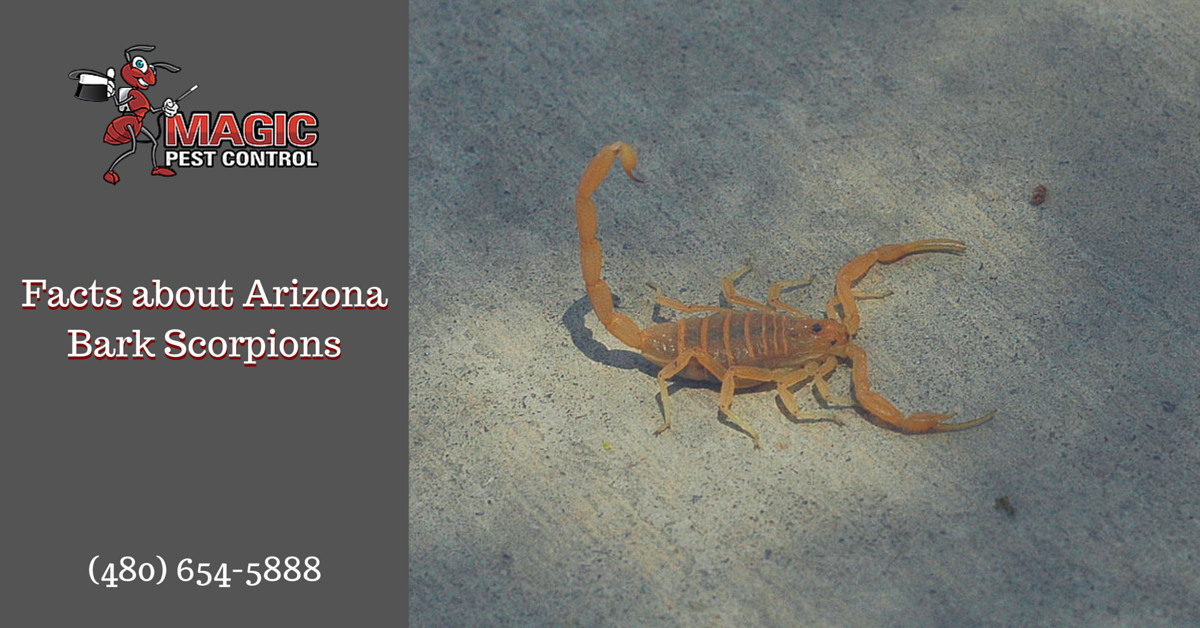 Facts about Arizona Bark Scorpions