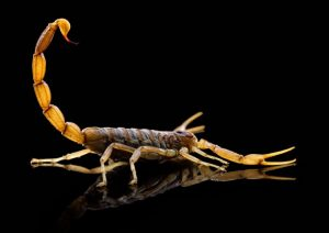 Scorpion Control Gilbert