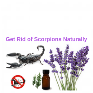 how to kill scorpions naturally