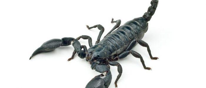 12781489 - heterometrus longimanus back scorpion