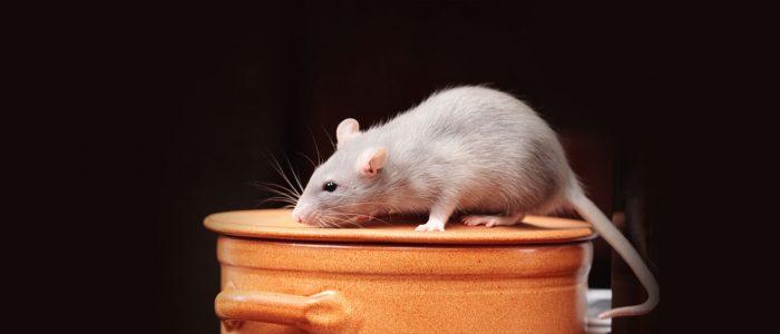 Rat2-3.jpg