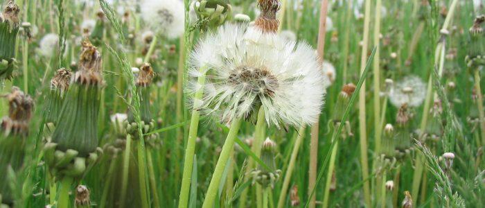 Weeds_in_Waterloo,_Ontario