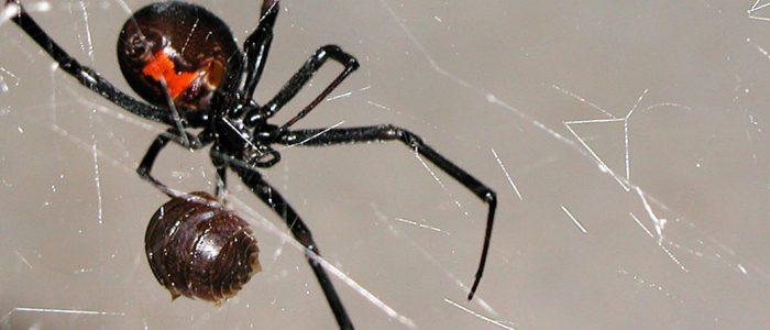 Spider Control Gilbert, Phoenix Metro